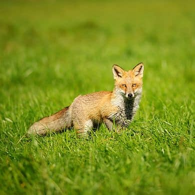 Red Fox Standing In Green Grass From Front View