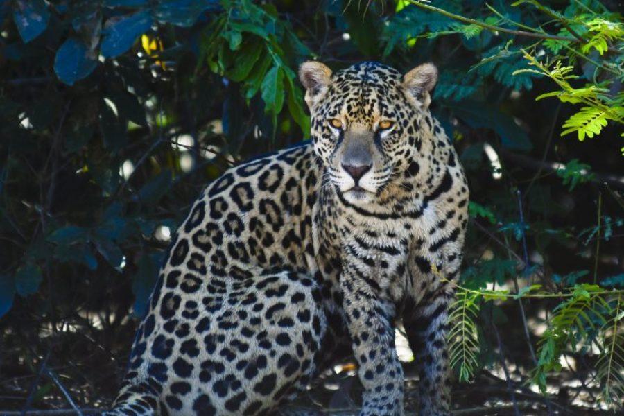 Jaguar Safari Pantanal Brasilien GloboTur