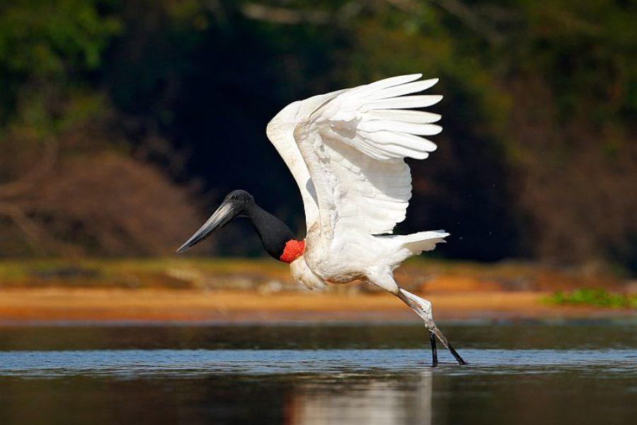 Brasilien-Reise-Storch-Maskottchen-Pantanal-GloboTur