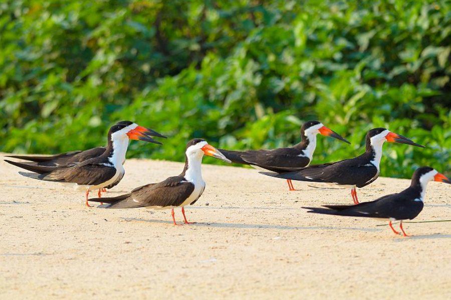 Vogelbeobachtung-Black-Skimmer-Brasilien-GloboTur