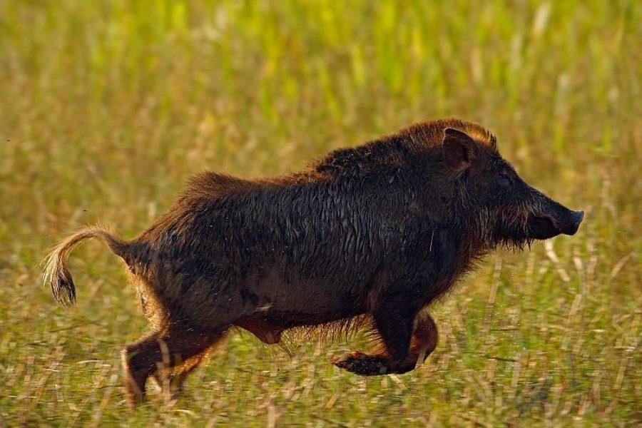 Brasilienreisen-Spezialist-Wildschwein-GloboTur