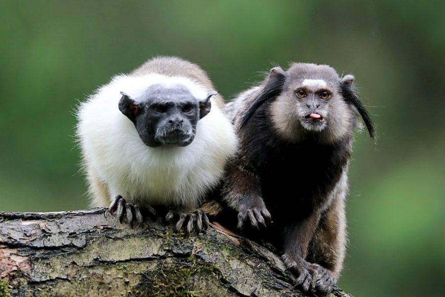 Affenpaerchen Brasilien Spezialist GloboTur