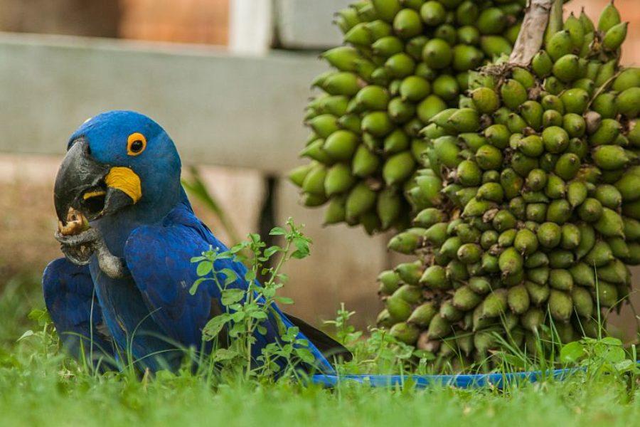Blauer Ara Pantanal GloboTur