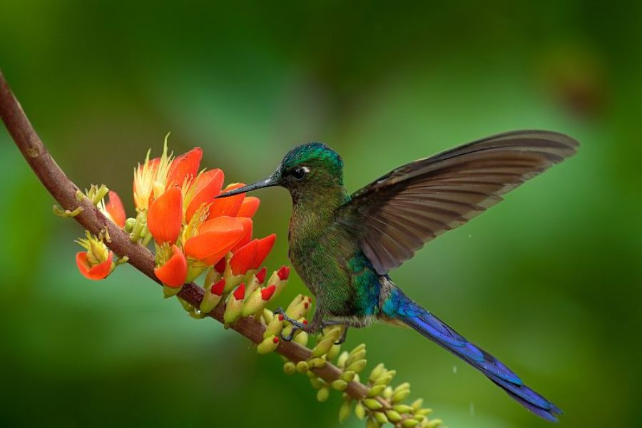 Long Tailed Sylph, Aglaiocercus Kingi, Rare Hummingbird From Colombia, Gree Blue Bird Flying Next To Beautiful Orange Flower, Action Feeding Scene In Tropical Forest, Animal In The Nature Habitat