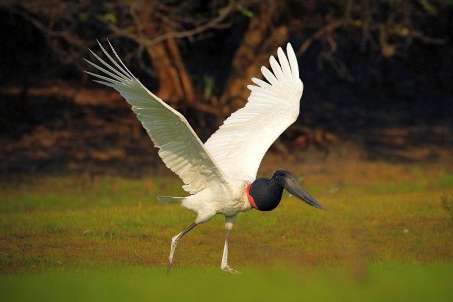 Brasilienreisen-Spezialist-Storch-Vogel-GloboTur