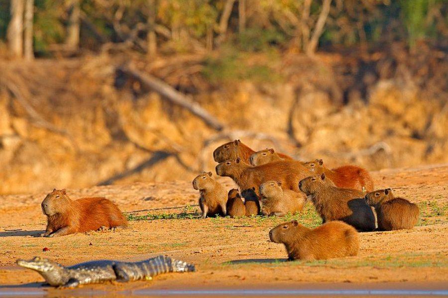 Capybaras-in-der-Wildnis-Brasilien-GloboTur