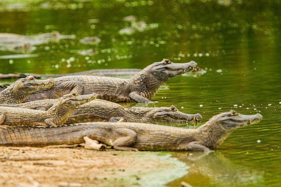 Pantanal Kaimane GloboTur
