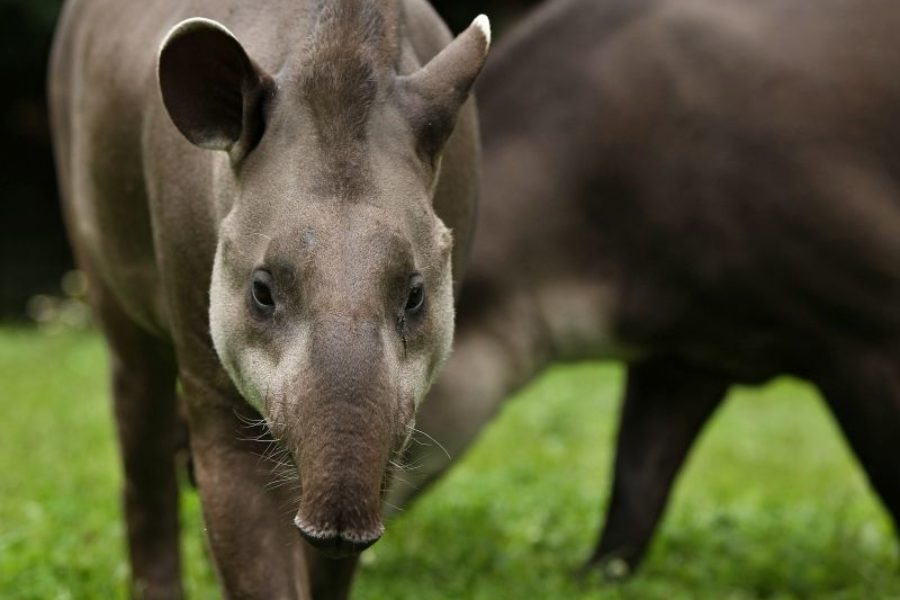 Tapir Big Five Pantanals Brasilien GloboTur