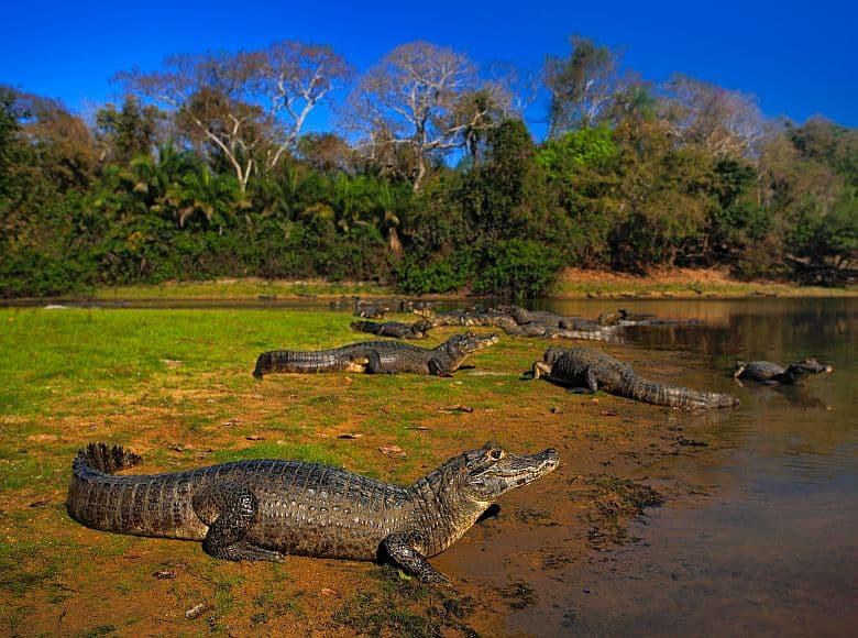 Caiman Pantanal Brasilien