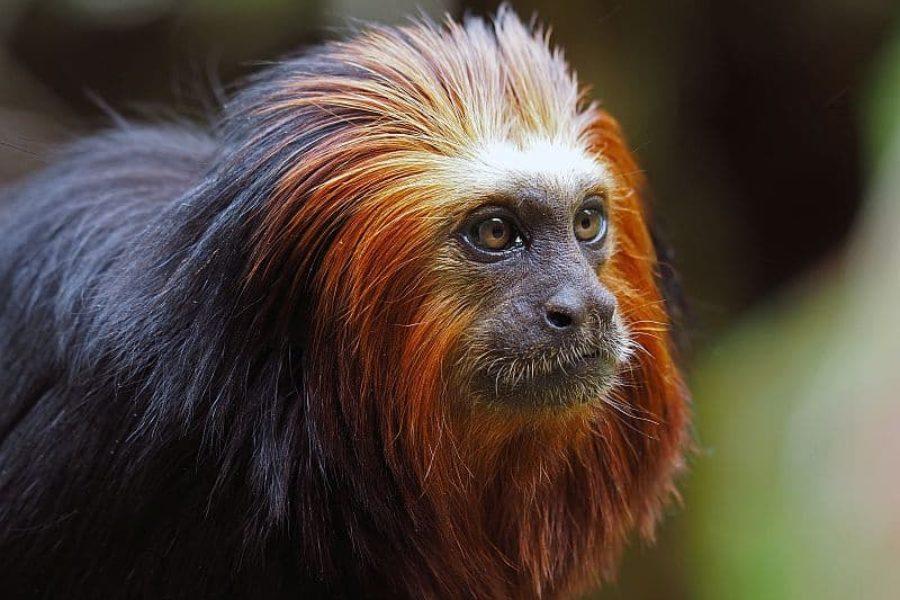 Lion Tamarin-Brasilien-Mico-leao-da-cara-dourada-Tierbeobachtung-GloboTur