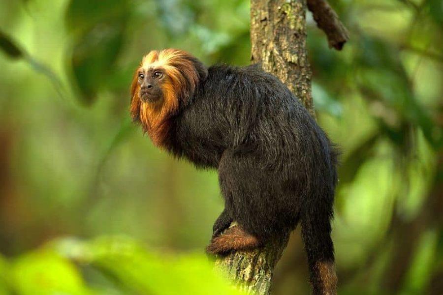 Brasilien Tierbeobachtung Goldkopflöwenäffchen GloboTur