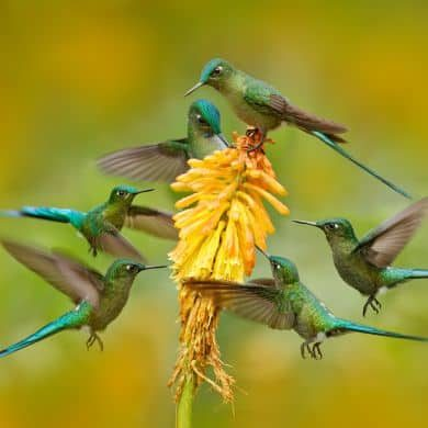 Flock Of Bird Sucking Nectar From Yellow Flower. Hummingbird Long Tailed Sylph Eating Nectar From Beautiful Yellow Bloom In Ecuador. Wildlife Scene From Tropic Nature. Six Birds Around Orange Flower.