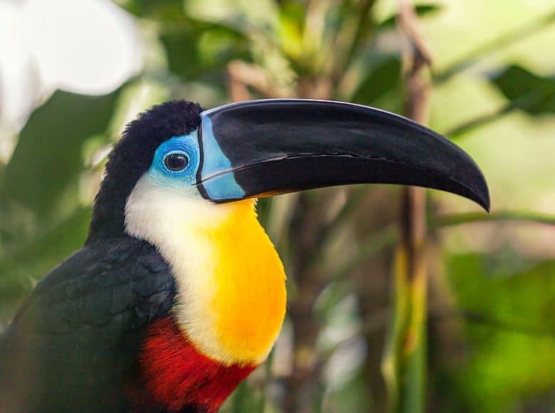 GloboTur-Brasilien-Spezialist-Vogelbeobachtung-Birdwatcher-Tucano-de-Bico-Preto-Ramphastos Vitellinus Vitellinus