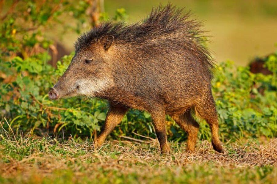 Brasilien-Naturreisen-Wildtiere-Trijuncao-Savanne-GloboTur