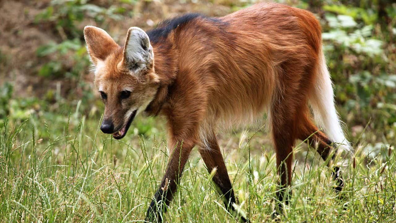 Lobo-Guara-Brasilien-Maehnenwolf-Safari-Naturreisen-GloboTur